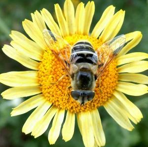 Bee on Anthemis tinctoria