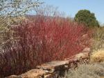 Dogwood's red branches add winter interest