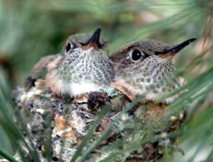 Broad-tailed Hummingbirds