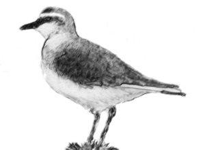 mountain-plover-logo-small