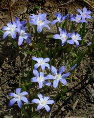 chionodoxa-luciliae-glory-of-the-snow-dbg-lah-002