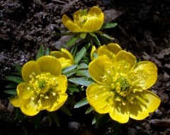Eranthis hyemalis - Winter Aconite @DBG LAH 001