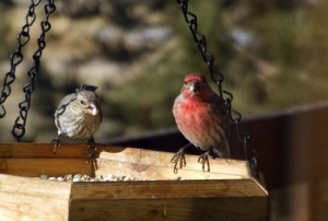 house-finches-wallpaper-crop