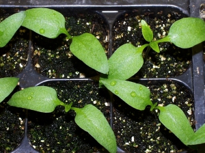 pepper-cotyledons-vs-leaves-lah