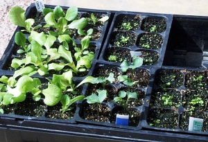 seedlings-in-tray-lah