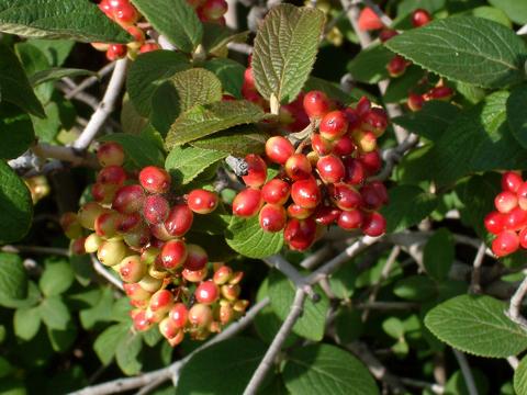 Viburnum lantana, Wayfaring Tree
