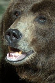 Grizzly Bear_DenverZoo_LAH_1488