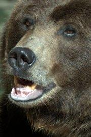 Grizzly Bear_DenverZoo_LAH_1488