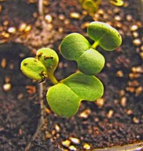 komatsuna-seedlings-needing-thinning-728-1