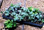 seedlings-ready-to-plant-lah