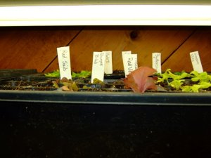 seedlings-under-lights-005-1