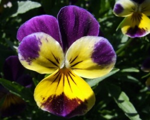 viola-johnny-jump-up-home-blackforestco-15jun07-lah-008