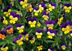 violas-johnny-jump-ups-dbg-2008jun26lah-446-21