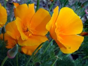 eschscholzia-californica-california-poppy-dbg-2003jun03-lah-005-1