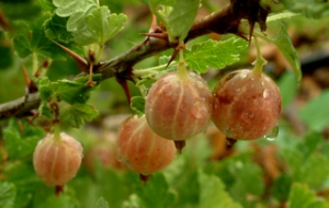 gooseberries-csu-lah-066