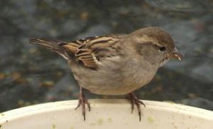 house-sparrow-denver-zoo-2009-02-14-lah-189r