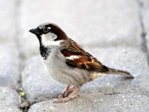 house-sparrow-denverzoo-20090527-lah-093