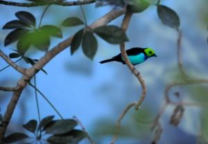 paradise-tanager-denverzoo-20090527-lah-236r