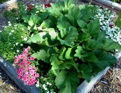 Rhubarb surrounded by dianthus in a 4x4 ft bed