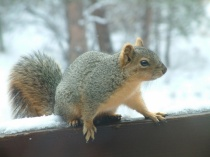 squirrel-on-snowy-railing-bf-lah-001