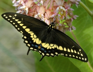 black-swallowtail_david-cappaert-michigan-state-university_5255023