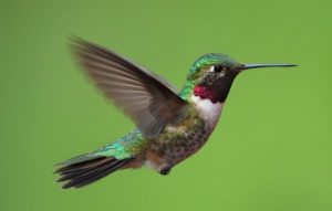 broadtail-hummingbird-home-20090601-lah-799r