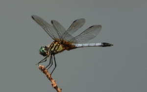 dragonfly-noxubeenwr-lah_4026