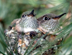 hummingbird-nestlings-cs-lah-1re