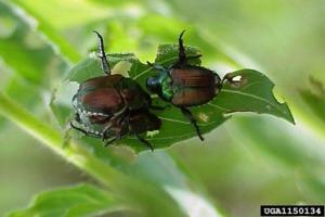 japanese-beetle-usfs-2