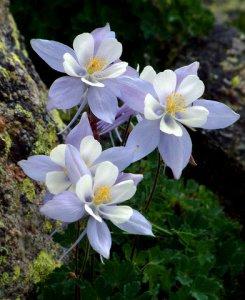 aquilegia-caerulea-blue-columbine-cottonwood-pass-summit-15july05-lah-005