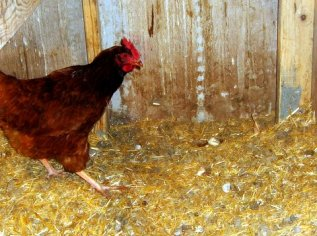 eggs-and-chickens-059