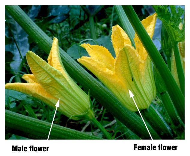 zucchini-blossom-male-femalecsu-23jul04-lah-033s