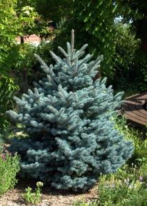 Montgomery Blue Spruce