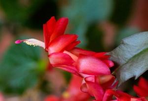 christmas-cactus_home_20091103_lah_5348x-1