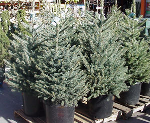 living christmas trees mountain plover - Small Live Christmas Trees In Pots