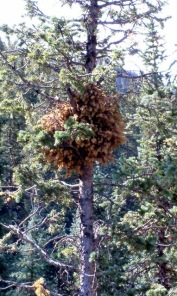 Sparse foliage and a witches' broom indicate a mistletoe infection.