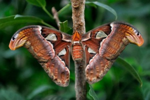 atlas-moth_butterflypavco_20100123_lah_7644-1