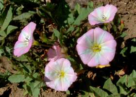 bindweed-bear-creek-pk-cs-lah-042r