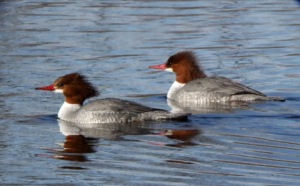 Common Mergansers females @FCNC 2009-01-21 LAH 661r
