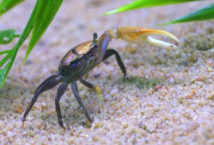 fiddler-crab_butterflypavco_20100123_lah_7915