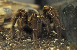 goliath-birdeater-theraphosa-blondi_butterflypavco_20100123_lah_7840
