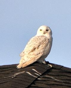 snowy-owl_peytonco_20100110_lah_6250-1