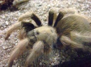 desert-tarantula-female-desertmuseumtucsonaz-2009-03-23-lah-710