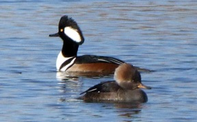 hooded-mergansers-fcnc-2009-01-21-lah-621