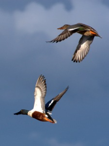 northern-shovelers-flying_ridgefieldnwr-wa_20100207_lah_8654