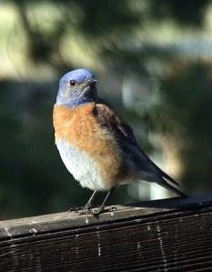 western-bluebird-home-2008jun03-lah-015r