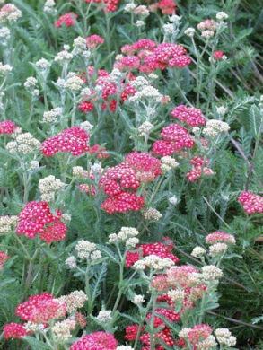 achillea-millefolium-paprika-plant