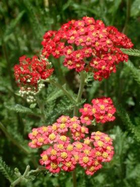 achillea-millefolium-paprika-yarrow-dbg-lah-006