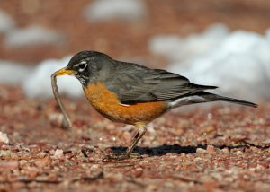 american-robin-with-worm_blkforest_20100424_lah_3482
