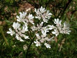 cilantro-bloom-home-lah-003